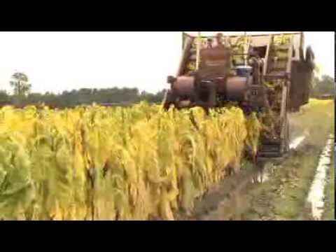 Georgia's 2013 Tobacco Harvest Smaller, Later Than Normal