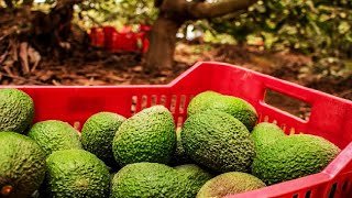 Avocado Harvesting and Processing in Factory - Avocado Farm and Harvest