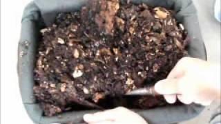 アメリカミズアブの幼虫は生ゴミを急速に分解する有用な虫です。外来昆...