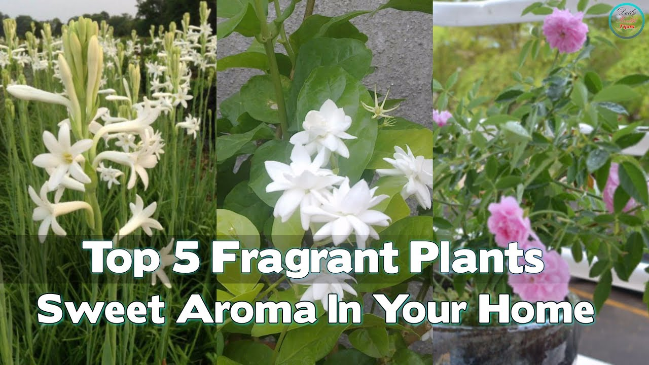 Top 5 fragrant plants to spread a sweet aroma in your home youtube top 5 fragrant plants to spread a sweet aroma in your home mightylinksfo