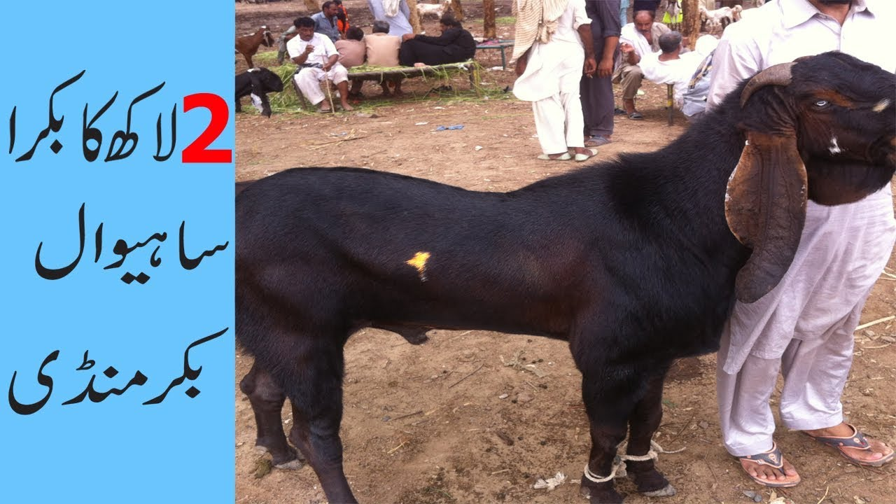Bloach Heavy Weight Big Bakra Goat of 2018 from pakistan