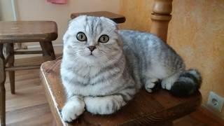 😻Лучшие Фото Котенка Scottish Fold Хлоя 🐱 Шотландская вислоухая кошка
