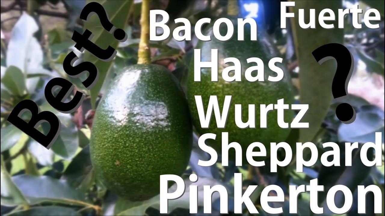Which Avocado Tree is Best? Bacon | Fuerte | Haas | Pinkerton | Sheppard |  Wurtz