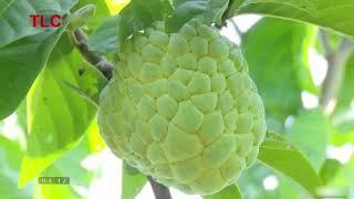 lãi tiền triệu nhờ mô hình trồng cây na thái tại Sơn La