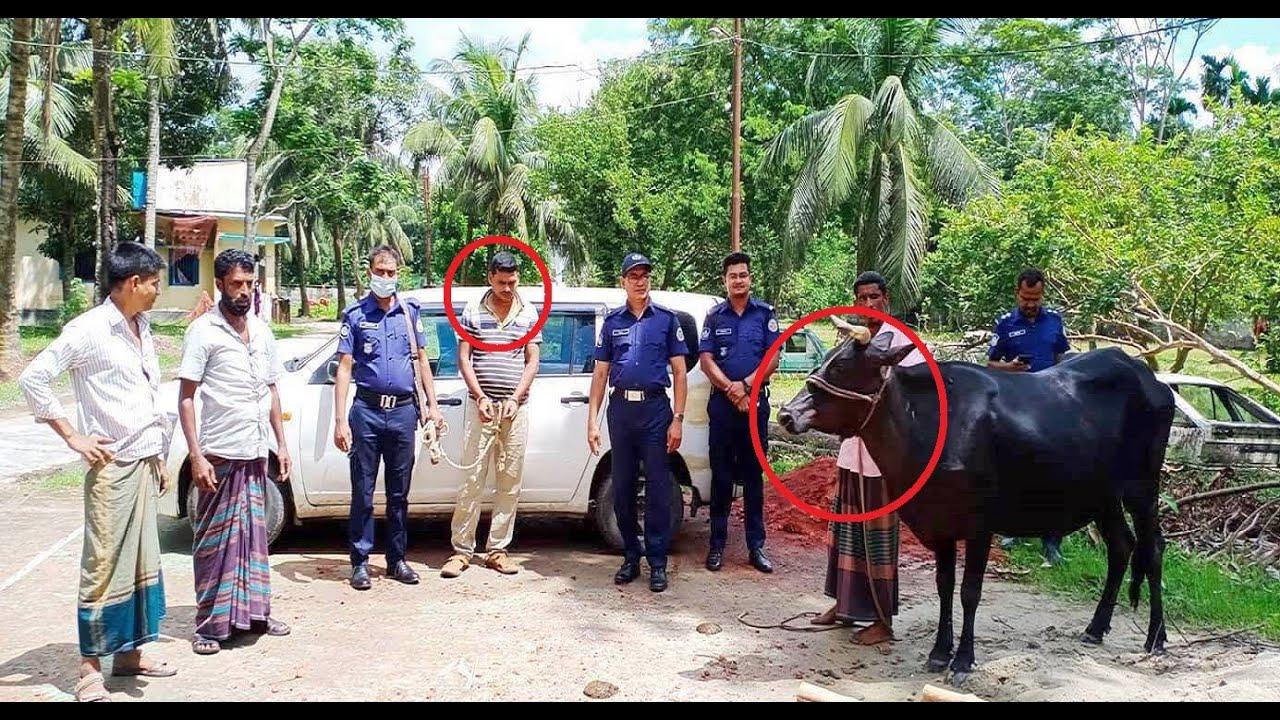 আধুনিক পদ্ধতিতে গরু চুরি ।। ধরা খেলো পুলিশের জালে || BD Police News Update