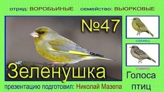 Зеленушка. Голоса птиц