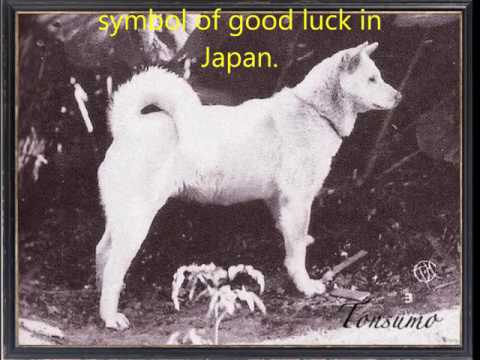 Akitas; Reincarnated Samurai & The Lost Remains of the Direwolf