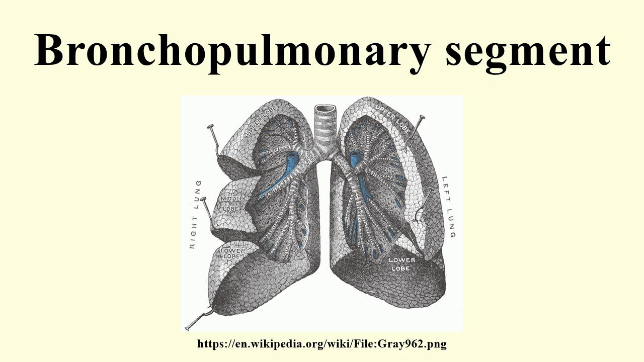 Bronchopulmonary segment - YouTube