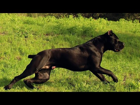 My Cane Corso's racing each other full blast! Plus a huge breeder collaboration at the end!