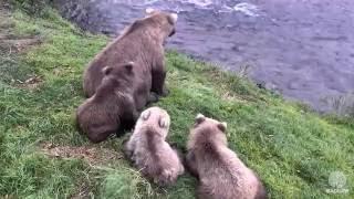 grazer and cubs return to brooks falls september 14 2016