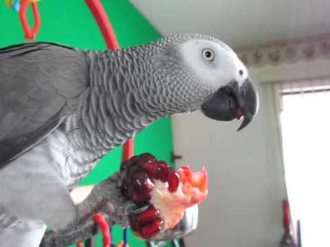 African Grey Parrot Eats Pomegranate