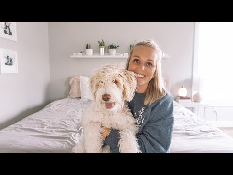 Aussiedoodle Puppy | Owning a Dog Pro's and Cons
