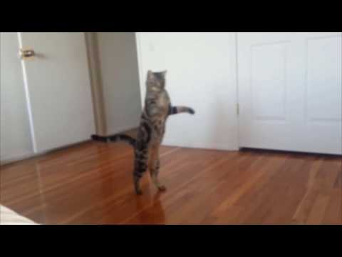 Cats who walk on two legs (A compilation)