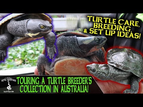 TOURING A TURTLE BREEDER'S COLLECTION IN AUSTRALIA!