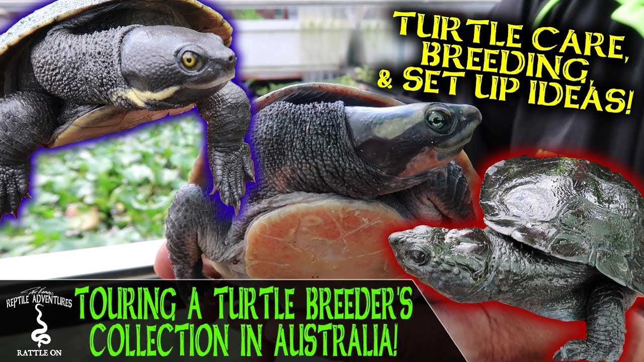 TOURING A TURTLE BREEDER'S COLLECTION IN AUSTRALIA! (The RATTLE ON series)
