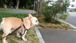 フレブルの老犬タロウ12歳です。