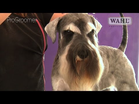 Grooming Guide - Miniature Schnauzer Pet Trim - Pro Groomer