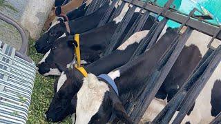 Live Sarb Cheema dairy farm