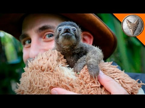download Cutest Baby Sloth EVER!