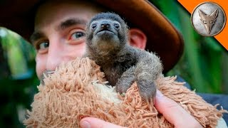 Cutest Baby Sloth EVER! thumbnail