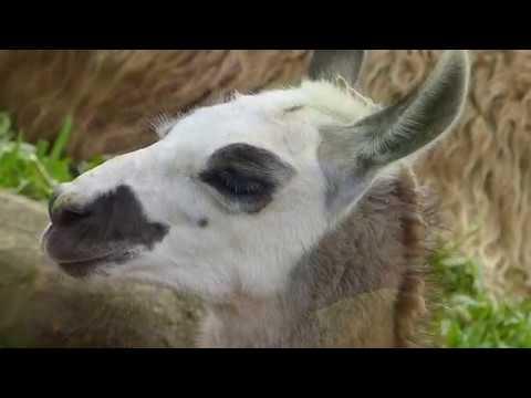 animais,-fauna-andina-lhamas-close-mamíferos-silvestres-selvagens-bicho-sertanejo-andes