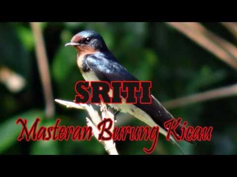 Download suara burung Sriti Untuk Masteran Burung Kacer Murai Dll