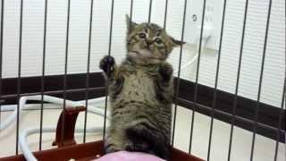 仔猫を拾ったその日。シャーシャー、カッカッ怒る仔猫。 thumbnail