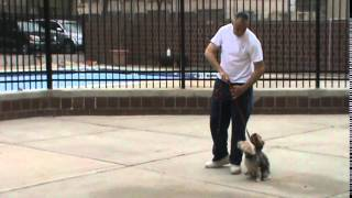 Rosa's K-9 Training ( Two Yorkshire Terriers Obedience Training)