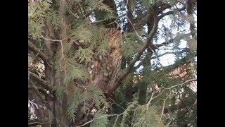Eurasian eagle owl in Serbia / Sova Usara u Srbiji