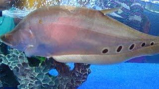 Clown Knife Fish (Clown Featherback)