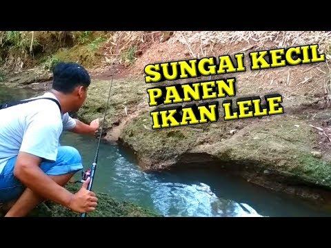 Mancing Di Sungai Kecil Panen Ikan Lele thumbnail