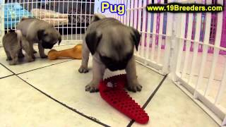Pug, Puppies, For, Sale In Toronto, Canada, Cities, Montreal, Vancouver, Calgary