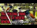 Suara Pemikat Burung Seriwang Tali Pocong  Mp3 - Mp4 Download