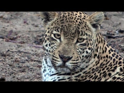 SafariLive Oct 14- Leopard Hosana mating with.....never mind. LOL