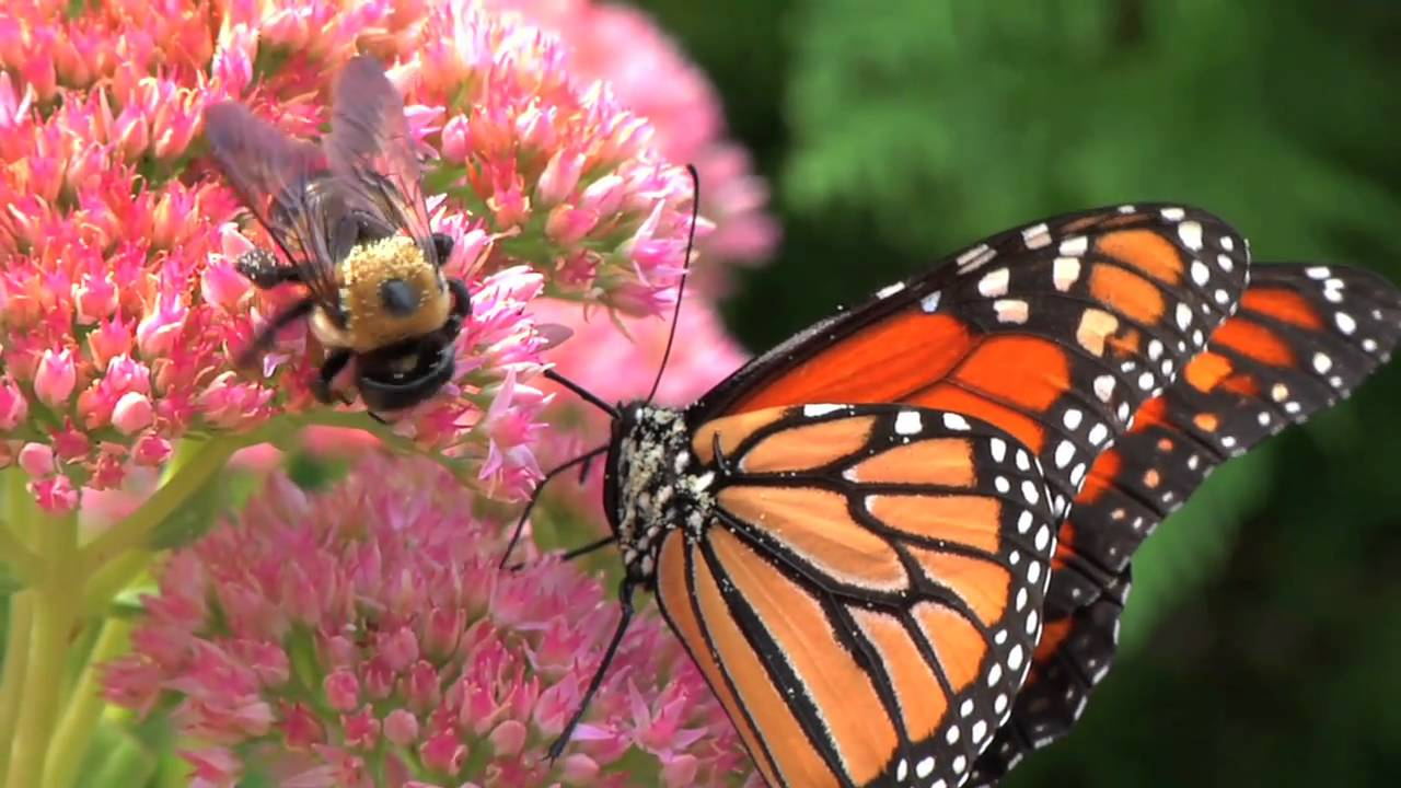HD 'Bees and Butterfly' Panasonic HPX170 - YouTube