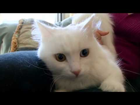 Cats 101 Turkish Angora Video Animal Planet Youtube