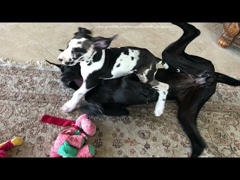10 Week Old Great Dane Puppy Goes from Playtime to Nap Time in 90 seconds