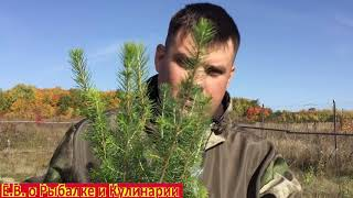 Осеняя посадка ЕЛИ легко быстро Сажаем саженцы сеянцы ели 20 штук за 1000 рублей Осеняя посадка ели