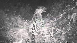 Leopard.mp4