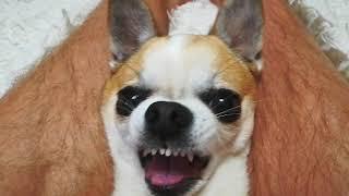 Самая злая собака на свете! Жесть! Ржака! Смотреть до конца!