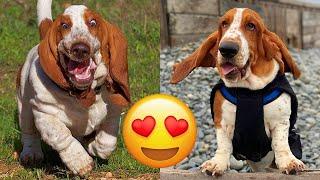 Basset Hound — Adorable And Hilarious Tik Toks Compilation