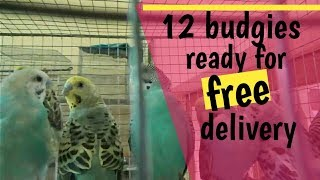 First 12 free budgies are ready for needy friend/ free birds for needy feiends
