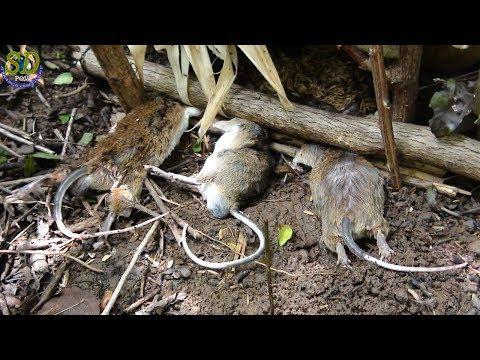 Deatfall Down - Khmer Primitive Technology Trap (Rat Trap)