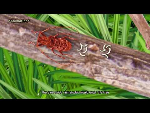 Deciphering Pine Wood Nematode
