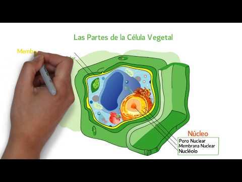 Las Partes De La Célula Vegetal Youtube