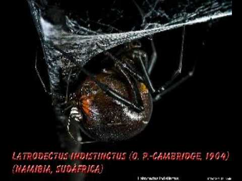 Latrodectus of the world