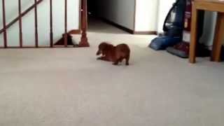 Scrappy The Dachshund Plays With A Scrap Of Fabric!