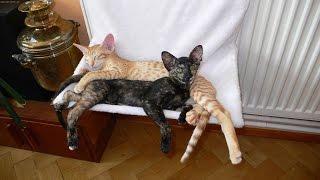 Содержание Ориентальной кошки, Породы кошек