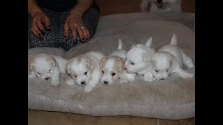 Coton Puppies For Sale - Foxy 7/28/20