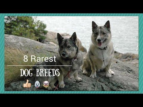 8 Rarest Dog Breeds